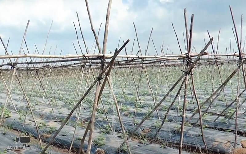 Quay phim giới thiệu sản phẩm - Hệ thống tưới cây tự động được sử dụng tại Nông trường Vineco, Củ Chi